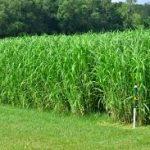 Bahan Bakar Ramah Lingkungan Berasal dari Rumput