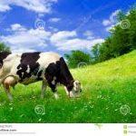 Cinta Lingkungan ? Kurangi Konsumsi Daging Sapi